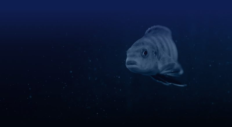 A fish swims in the sea