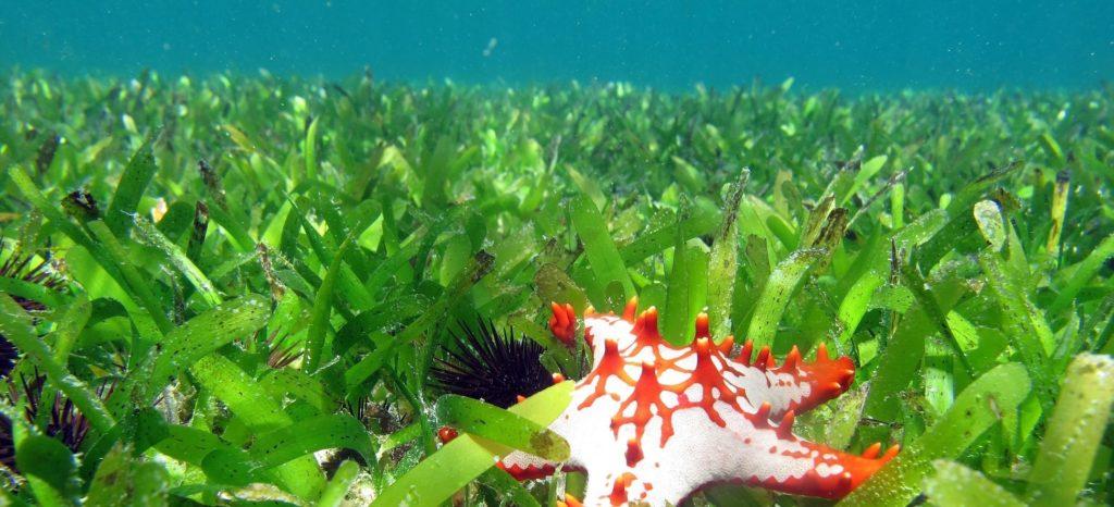 Artenvielfalt Meer Seegraswiesen vor der Küste von Sansibar