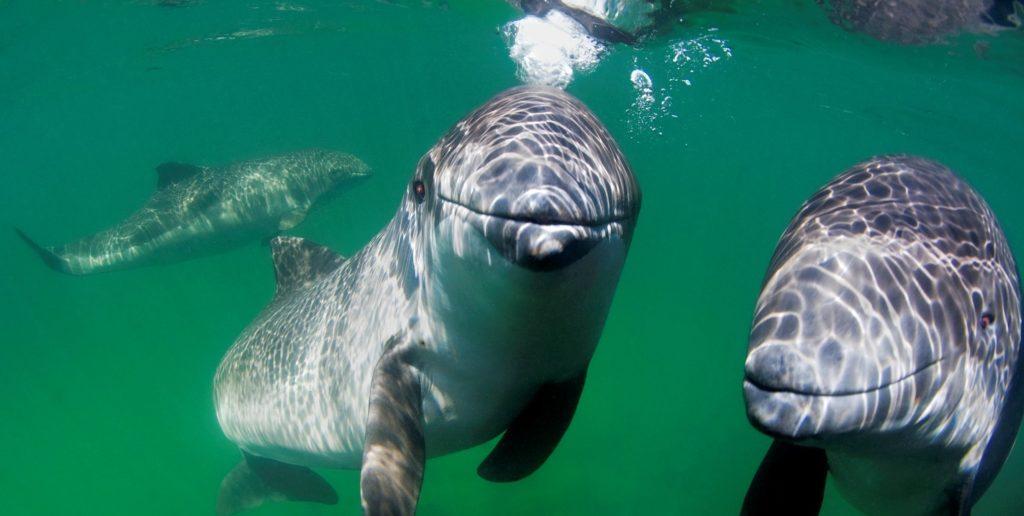 Meeressäuger wie der Schweinswal eignen sich besonders gut für Bildungs-Projekte