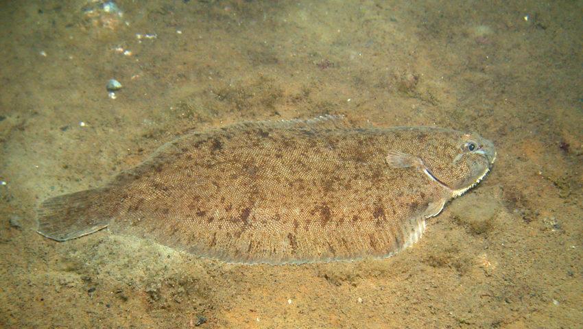 Seezunge am Meeresboden