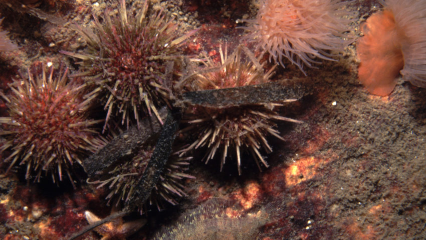 Strandseeigel unter Wasser