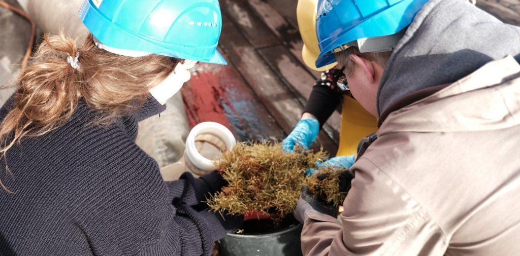 Während der Expedition SO 279 nehmen Wissenschaftler*innen im zentralen Nordatlantik Proben von Braunalgen (Sargassum).