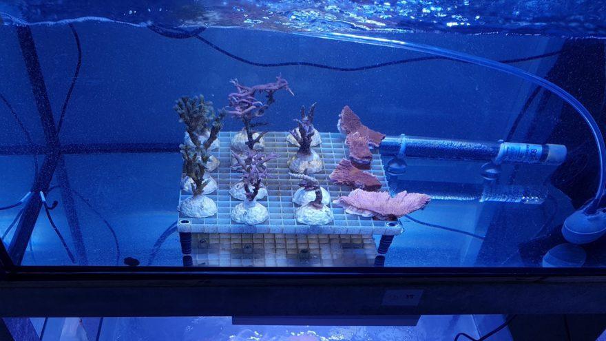 In der Meerwasseranlage des ZMT wurden vier verschiedene Korallenarten Mikroplastik ausgesetzt.