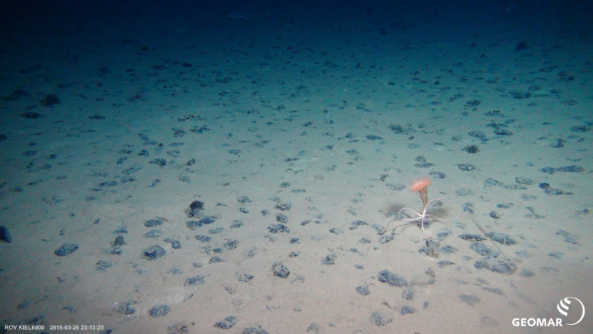 Typical manganese nodule habitat on the seafloor in the Clarion-Clipperton Fracture Zone (CCZ) in the Pacific Ocean (Expedition SO239) with a sea anemone and a brittle star.