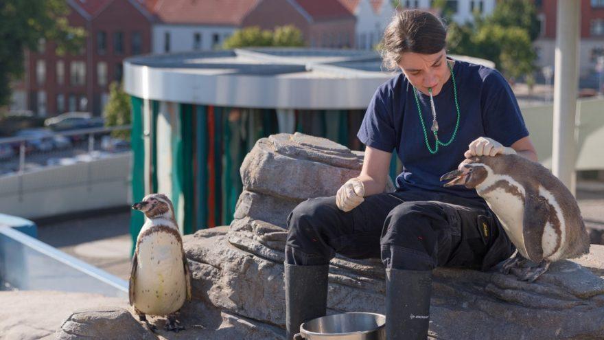Training mit den Humboldt-Pinguinen im OZEANEUM Stralsund